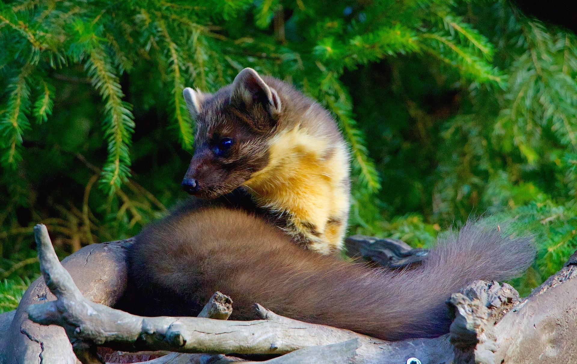 martre des pins, marte, animal, mammifere carnivore d'europe