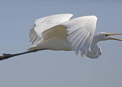 Grande aigrette (héron blanc) en vol - Instinct Animal